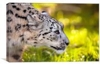 Snow leopard, panthera uncia, Canvas Print