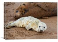 Baby grey seal, Canvas Print