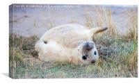 Young gray seal, Canvas Print