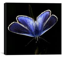 The Common Blue