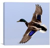 Flight Of The Mallard