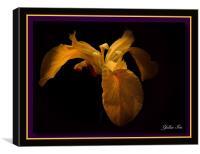 Yellow Iris, Canvas Print