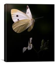 Caught In Flight, Canvas Print