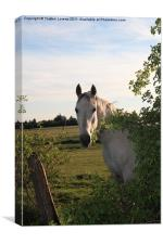 white horse, Canvas Print