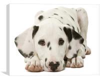 Dalmatian Pup, Canvas Print