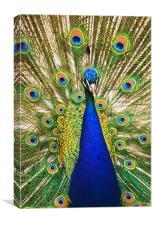 Peacock Dunfermline Glen, Canvas Print