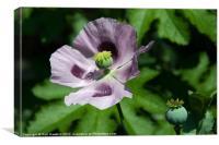 a Purple Poppy, Canvas Print
