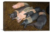 Sleeping Piggies , Canvas Print