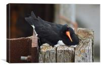 oyster-catcher, Canvas Print