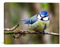Yellow Bellied Tit
