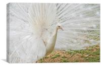 White Peacock, Canvas Print