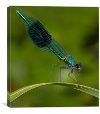 Banded Damselfly, Canvas Print