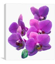Orchid Flower, Canvas Print