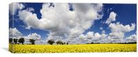Rape Seed Field Panoramic, Canvas Print