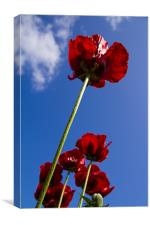 Wild Poppy Worms Eye View, Canvas Print