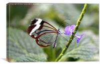 Glasswinged Butterfly, Canvas Print