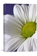 Daisy - Chrysanthemum, Canvas Print