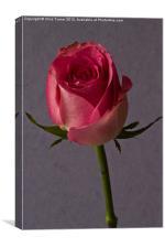Single Rose, Canvas Print