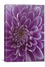 Chrysanthemum pink lilac, Canvas Print