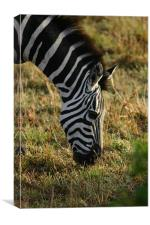 Zebra on the Mara, Canvas Print