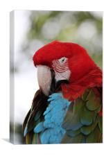 All Fluffed up - Scarlet Macaw, Canvas Print