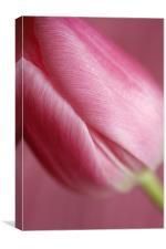 Pink Tulip 1, Canvas Print