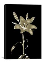 Lily Polorised, Canvas Print