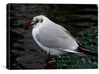 Female Black Headed Gull