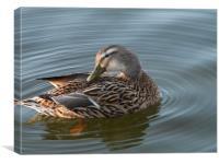 Preening Duck, Canvas Print
