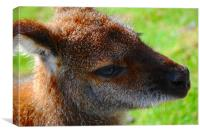 Wallaby Closeup