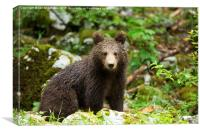 One year old Brown Bear in Slovenia, Canvas Print