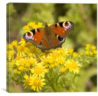 peacock Butterfly inachis io, Canvas Print