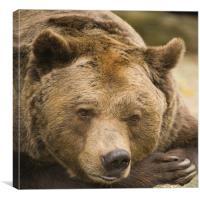European Brown Bear., Canvas Print