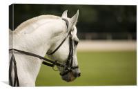 Lipizanner horse, Canvas Print
