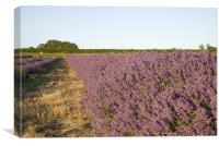 Lavender fields, Canvas Print