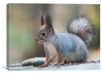 Squirrel after breakfast., Canvas Print