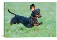 Running dachshund, Canvas Print