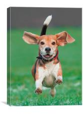 Flying beagle, Canvas Print