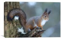 Red squirrel posing, Canvas Print