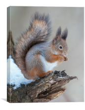 Classics of red squirrrel, Canvas Print