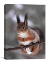 Red squirrel on a tree branch, Canvas Print
