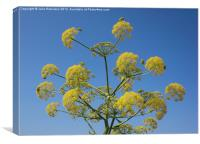 Wild Yellow Dill Flowers, Canvas Print