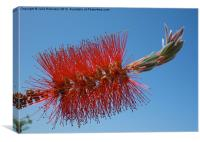 Red Bottle Brush Flower, Canvas Print