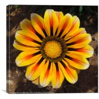 Golden Gazania Flower, Canvas Print