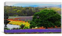 Bridestowe Laveder farm Tasmania, Canvas Print