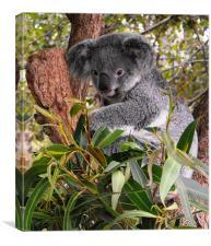 Koala, Australia, Canvas Print