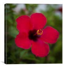 RED TENERIFE HIBISCUS FLOWER, Canvas Print