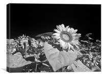 Sunflowers, Canvas Print