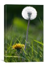 The Life of Dandelions