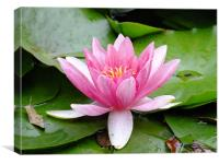 Waterlily in the rain, Canvas Print